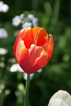 Lit Tulip 02 by Andrea Jean