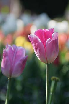 Lit Tulip 05 by Andrea Jean