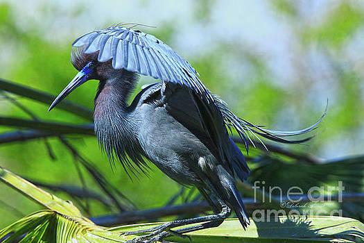 Deborah Benoit - Little Blue Heron Alligator Farm