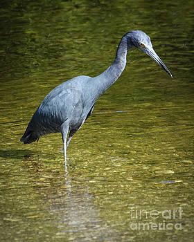 Little Blue Heron by Lisa Kilby