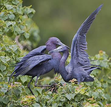 Little Blue Heron Mates by Bonnie Barry