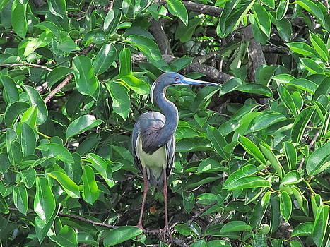 Little Blue Heron by Zachary Baty