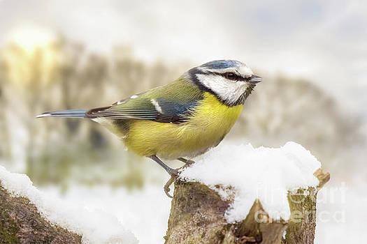 Simon Bratt Photography LRPS - Little blue tit in winter snow