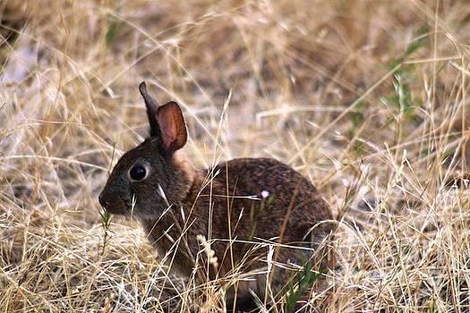 Nick Gustafson - Little Brown Bunny