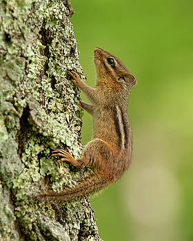 Little Chipmunk Tree Climber by Lara Ellis
