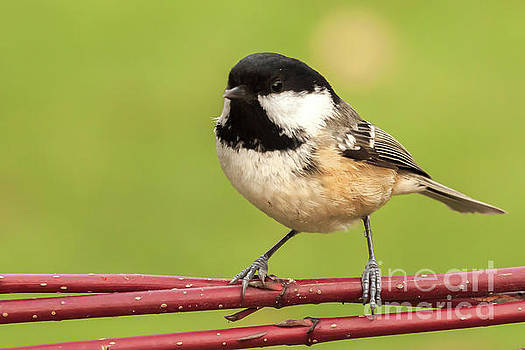 Simon Bratt Photography LRPS - Little coal tit wild garden bird