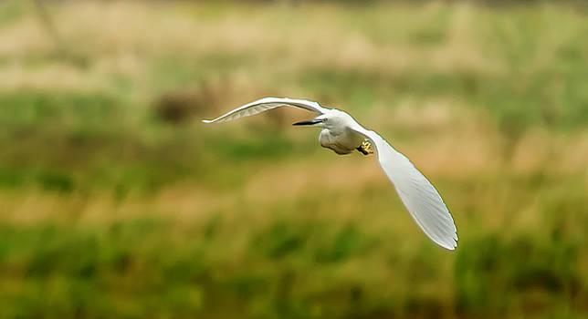 Darren Wilkes - Little Egret - Egretta garzetta