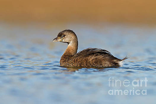 Little Grebe by Bryan Keil