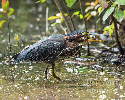 Little Green Heron with Fish by Eric Killian