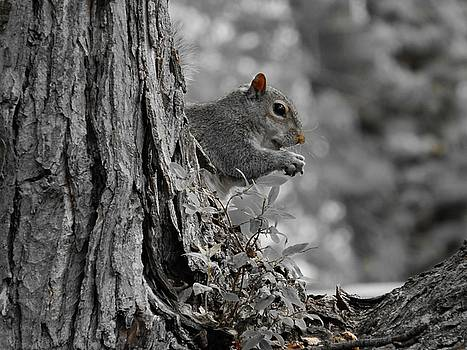 Gothicrow Images - Little Hungry Gray Squirrel