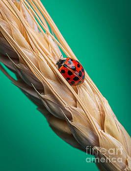Little Lady Bug by Yasar Ugurlu