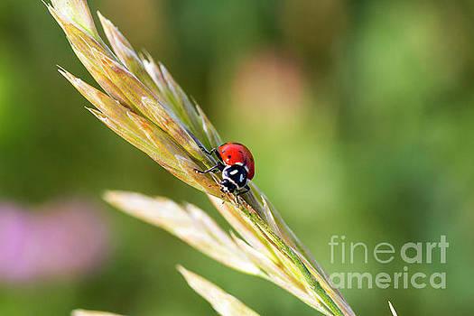 Little Ladybug by Steve Triplett