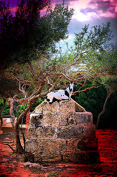Pedro Cardona Llambias - little mediterranean goat dream color seated in her stone throne  hdr by pedro cardona