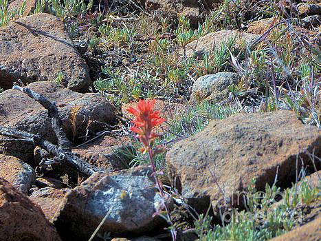 Little orange wild flower by Debbie Wells