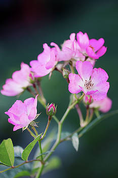 little pink roses by Iuliia Malivanchuk by Iuliia Malivanchuk