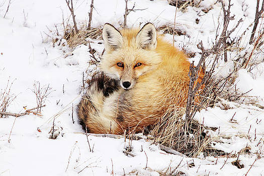 Little Red Fox by Alyce Taylor