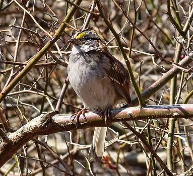 Little Sparrow by Lanis Rossi
