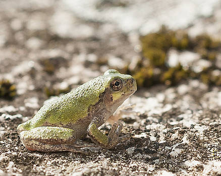 Little Tree Frog by Kathryn Whitaker