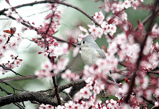 Little Tufted Titmouse by Trina Ansel