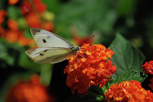 Little White Butterfly by Lori Tambakis