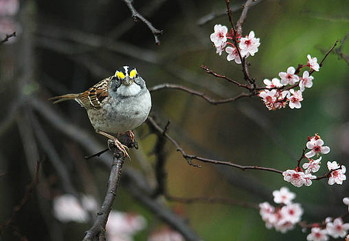 Little White Throated Sparrow by Trina Ansel