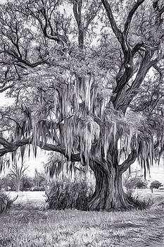 Live Oak and Spanish Moss - Paint BW 2 by Steve Harrington