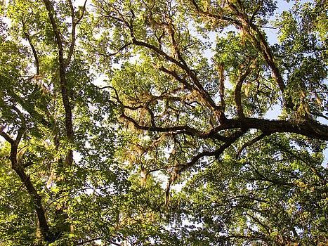 Live Oak Canopy by Joshua Bales