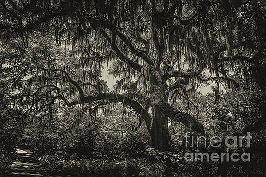 Dale Powell - Live Oak Tree Sepia