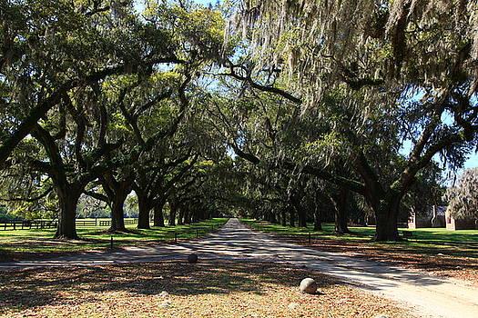 Jill Lang - Live Oaks Canopy