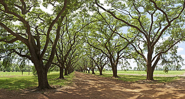 Live Oaks Country Road by Robert Harshman