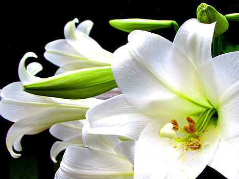 Lively Lily In White by Gardening Perfection