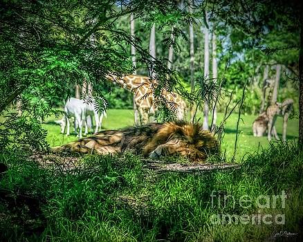 Living in Harmony - Lion 2 by Jan Mulherin