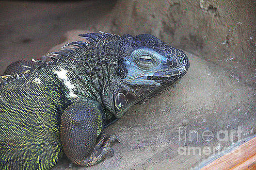 Lizard Blue and Green by David Frederick
