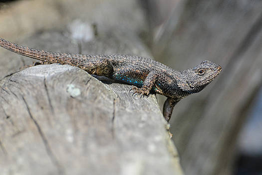 Lizard On Wood Fence Shiloh Tennessee 031620161698 by WildBird Photographs