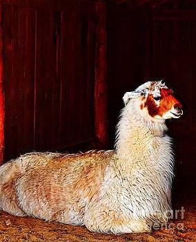 Llama Llama in a Manger by Becky Kurth