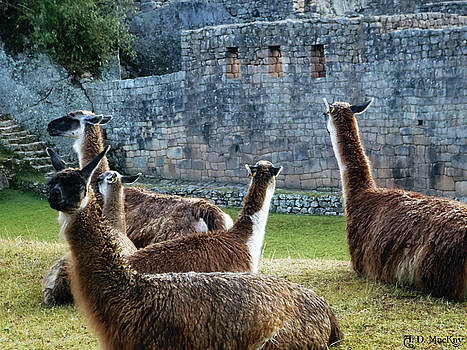 Llamas at Machu Picchu by Celtic Artist Angela Dawn MacKay