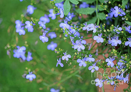 Lobelia Flowers by Karen Adams