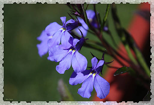 Lobelia by Rick Thiemke