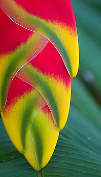 Lobsterclaw Heliconia by Stephen Mack
