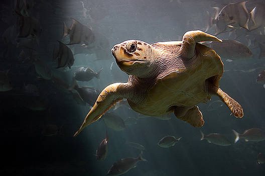 Loggerhead Sea Turtle by Marcus Taylor