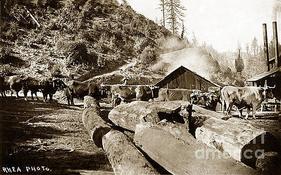California Views Mr Pat Hathaway Archives - Logging with oxen at a Saw mill Sonoma County California
