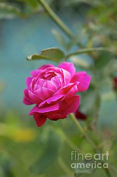 Charmian Vistaunet - Lokelani Rose - Maui