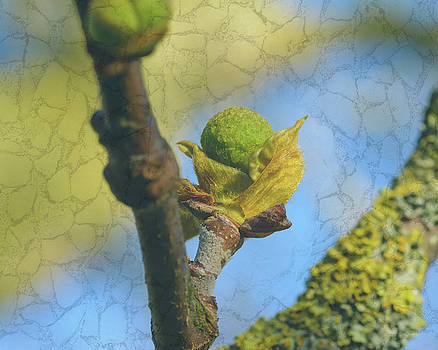 Jacek Wojnarowski - London Plane Buds D - Platanaceae Fine Art