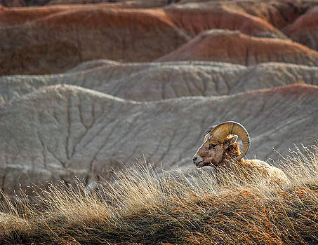 Lone Bighorn Sheep In Badlands National Park by Ray Van Gundy