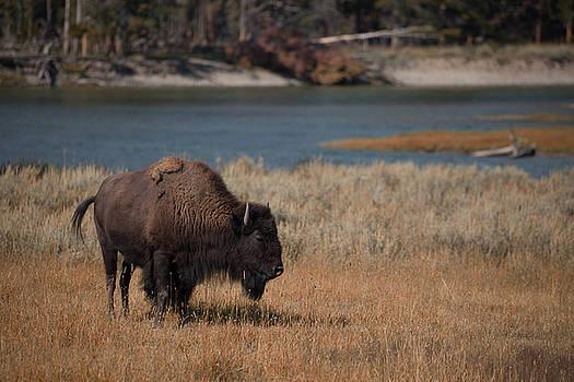 Cliff Wassmann - Lone Bison