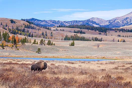Lone Bull Buffalo by Cindy Singleton