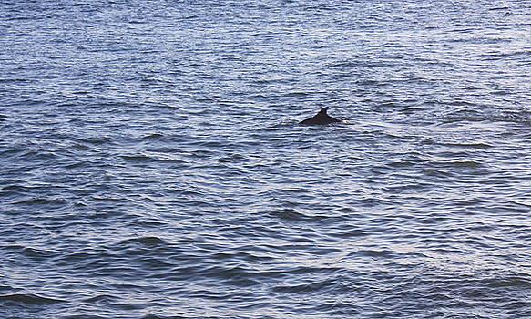 Lone Dolphin by Carol Turner