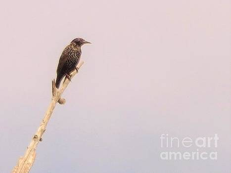 Lone European Starling          September            Indiana by Rory Cubel