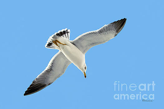 Lone Florida Seagull on Beach Patrol 727 by Ricardos Creations