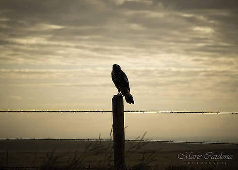 Lone Hawk  by Marie  Cardona